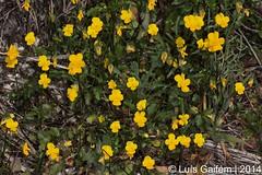 Viola langeana Valentine (Lus Gaifm) Tags: flower macro planta nature natureza flor pansy violet plantae johnnyjumpups violaceae violalangeana caldasdacavaca lusgaifm violetaamarela violetadegredos