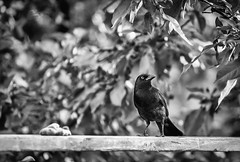 Coup d'Oeil (maoby) Tags: bw bird nature animal canon rouge oeil oiseau 70200mm