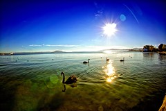 Lake Rotorua (/\ltus) Tags: newzealand lake sunrise rotorua sony nz blackswan lakerotorua nothdr nex7