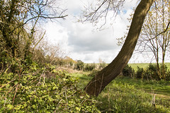 The Leaning Tree (Sara@Shotley) Tags: light tree green leaves weather clouds woodland countryside spring shadows path bark pastoral leaning brambles