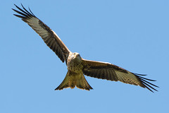 Red kite (Shane Jones) Tags: kite bird nikon raptor birdofprey redkite birdinflight tc14eii 200400vr d7200