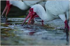 Ibis feeding (RKop) Tags: a77mk2 minolta600mmf4apog esterolagoon raphaelkopanphotography florida sony