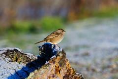 Frosty Bird (C McCann) Tags: winter canada cold bird frost bc head britishcolumbia albert birding frosty lagoon vancouverisland metchosin colwood