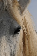 je te vois, tu me vois (planteymarielaure) Tags: horse cheval eyes outdoor robe country bluesky yeux campagne blanc regard percheron cielbleu cils