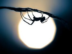 Spider On The Sun with Zuiko 90/2 (bredma) Tags: wild sun macro male nature spider bokeh naturallight olympus bubble em1 gardenspider zuiko90f2