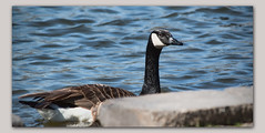 Almost On Shore (gtncats) Tags: park lake nature water swimming outside pond outdoor goose frame fowl waterfowl canadagoose ef70300mm photoborder canon70d photographyforrecreation dropboxshadow