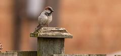 Sitting On The Fence (vernonbone) Tags: birds nikon sigma 500mm eastpoint d3200 april2016