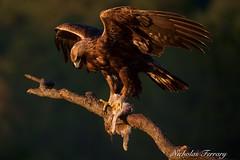 Goldeness (Nicholas Ferrary) Tags: naturaleza nature birds real spain nikon eagle wildlife raptors birdsofprey goldeneagle aguila birdlife birdmigration sierramorena d810 aguilareal nikond810 soaringbirds nikon200400mmvr spanishwildlife nicholasferrary d800e nikond800e