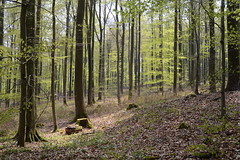 Beech Life (simon.stoelben) Tags: trees plants sunlight nature leaves forest spring woods laub natur pflanzen may eifel mai wald bume beech frhling buchen aremberg