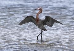 The Dance {In Explore 4/16/16} (tomblandford) Tags: egret threatenedspecies fishdance reddishegret texasbirding audubonmagazine dailynaturetnc13 dailynaturetnc14 tnclivenature
