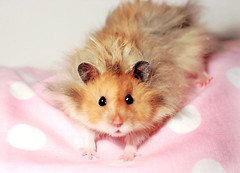 Gucio on Pink Pillow (pyza*) Tags: pet cute animal rodent furry critter fluffy hamster syrian hammie syrianhamster gucio gustaw chomik