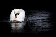 'Tannhauser' (Jonathan Casey) Tags: lake water river swan nikon f2 vr 200mm d810