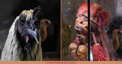 Nightmare of the Rooster (andrefromont/fernandomort) Tags: diptych meditation mummy diptyque roaster coq mditation momie fernandomort andrfromont andrefromontfernandomort