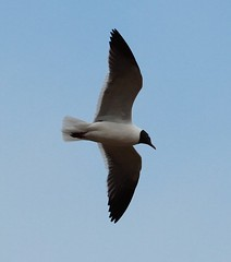 Laughing Gull (lycaenidae_nm) Tags: brooklyn