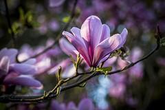 Magnolia (Paul Rioux) Tags: nature evening petals dusk magnolia esquimalt saxepointpark prioux
