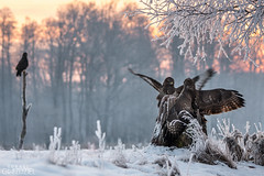 The observer (lookashG) Tags: morning winter sun mist snow bird nature wet birds animal animals fog fauna sunrise dawn fight haze action wildlife natura aves wintertime zima animalia buteobuteo sunup daybreak nieg poranek rano soce ptak walka ranek mga ptaki commonbuzzard wschd zwierzta breakofday myszow akcja wschdsoca wit mgy portretrodowiskowy 70400mmf456gssm lookashggmailcom portraitofenvironmental ukaszgwidziel zaranie sonyilca77m2