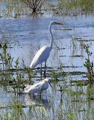 Best friends (Rocki Adams) Tags: arizona usa green nature water birds animal outdoor wildlife birding scenic april marsh avian greategret snowyegret 2016 ardeaalba egrettathula wadingbird maricopacounty birdsofnorthamerica birdinghotspot glendalerechargeponds canonpowershotsx50
