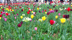#7792 tulips () (Nemo's great uncle) Tags: flower flora tulip  odaiba   aomi  kotoku  tky