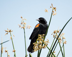 Red-winged Blackbird - Sepulveda - 2016-1239 (GDMatt) Tags: california wild plant bird nature beautiful one losangeles unitedstates wildlife watching birding peaceful places northamerica perched marsh blackbird redwingedblackbird sepulvedabasin aniimal singlebird