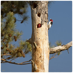 Red-headed Woodpeckers Nest Building 2 (jeanne.marie.) Tags: tree birds pinetree pine spring nestbuilding redheadedwoodpeckermelanerpeserythrocephalus
