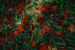 Mozambique (twoeye) Tags: red flower green grass zeiss sony 55mm carl za sonnar sonycarlzeisssonnartfe55mmf18za a7rii