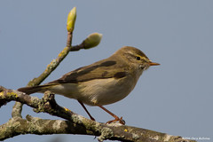 Willow Warbler (Phylloscopus trochilus) (ccmcentee) Tags: birds canon prime lancashire willow mere sthelens warbler merseyside 400mm eccleston willowwarbler phylloscopustrochilus primelens 70d canonef400mmf56lusm pouillotfitis ecclestonmere canoneos70d
