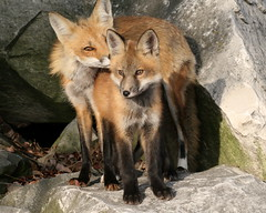 Mother Fox (marylee.agnew) Tags: family red cute love nature animal kiss outdoor young mother canine fox kit predator mothering wildife