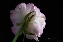 Fragile 0418 Copyrighted (Tjerger) Tags: pink portrait white plant black flower macro green nature floral beautiful beauty closeup wisconsin back petals spring stem flora natural ranunculus bloom delicate blackbackgound