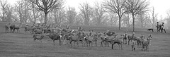 Deer (Nifty_Shoes) Tags: nature wildlife wollatonpark deerpark wollatonhall