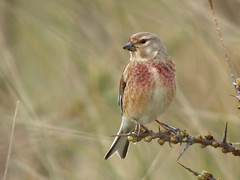 Linnet (Peanut1371) Tags: pink brown bird grey finch linnet nationalgeographicwildlife