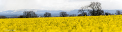 Spring, Summer or Winter? (Mirrored-Images) Tags: colour nature weather yellow landscape flora seasons outdoor farm fields northyorkshire oilseedrape stitchedpanorama
