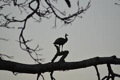 Peacock (cn174) Tags: india nationalpark tiger tigers rajasthan ranthambhore tigerreserve ranthambhorenationalpark ranthambhorebagh