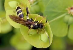 Ichneumon xanthorius f - 25 IV 2016 (el.gritche) Tags: hymenoptera france 40 garden ichneumonidae ichneumon xanthorius female ichneumonxanthorius euphorbia euphorbiaamygdaloides wasp guepe