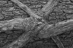 union jack tree (JohnB's photos) Tags: black tree monochrome jack nikon union vine bark creeper tetxture nikon2470mm induroct214 nikond610