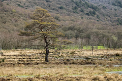 IMG_2229 (DanMarty92) Tags: spring lakedistrict marsh lonetree