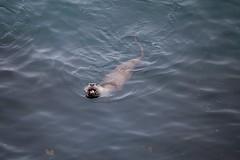 otters (rlittle16) Tags: ca canada britishcolumbia oakbay
