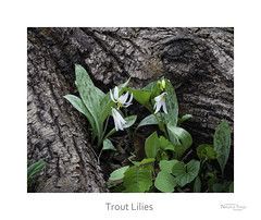 Trout Lilies (baldwinm16) Tags: nature forest woodland season illinois spring woods midwest il april wildflower troutlily mortonarboretum natureofthingsphotography