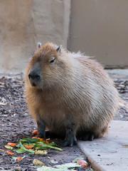 Capybara, Adelaide Zoo (Ian Dodd) Tags: adelaide capybara adelaidezoo