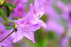 dreamy azalea....or dreamy rhododendron?? (heyjudephoto) Tags: macro nature up focus soft close purple blossom dreamy azalea lavendar