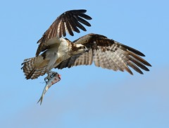 Osprey with Fish (KoolPix) Tags: fish bird nature animal flying wings flight beak feathers raptor meal osprey birdofprey nationalgeographic bif fishhawk naturephotography seahawk birdinflight naturephotos amazingnature jayd naturephotographer mnsa fantasticnature animalphotographer marinenaturestudyarea koolpix jdiaz wonderfulbirdphotos jaydiaz jaydiaznaturephotographer wcswebsite