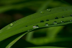 _DSC3437 (Simply Angle) Tags: morning orange macro green wet closeup outdoors washington droplets spring stem shadows bokeh sony dew shade tiny daylily washingtonstate a7ii deerparkwa chewelahwa sonyphotographing sonyphotography canonfd100mmf4macro sonya7ii ilce7m2
