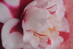 Camelia's nuances (StefPhotography_) Tags: pink white flower macro bokeh camelia nuance