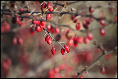 red berries (avflinsch) Tags: winter red cold berries poison thorn 500px ifttt