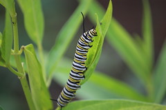 Monarch Caterpillar (LizabethL) Tags: butterfly bug insect outdoor caterpillar monarch milkweed butterflyweed