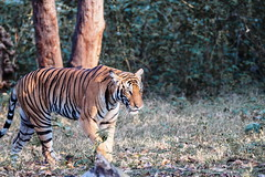 Wildlife @ kabini and ranganathittu (minkuashish) Tags: nagarholenationalpark royalbengaltiger