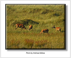 Dar 2015 (092) (Vogelfoto69) Tags: germany born nationalpark natur region wald ostsee prerow barth reddeer ahrenshoop leuchtturm jgermeister deerhunting darss wildschwein zingst bodden mecklenburgvorpommern windpark 2015 wiek dars naturschutz naturfoto rothirsch brunft 25jahre seeadler kernzone spieser vorpommersche boddenlandschaft hirschbrunft fischlanddarszingst darserort natureum naturfilm rothirsche kahlwild andreaskalbow darserarche 20ender