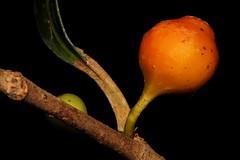 Ficus virgata (andreas lambrianides) Tags: fig qld australianflora moraceae australiannativeplants rainforestplants arfp australianrainforests australianrainforestplants rainforestfruits rainforestseeds ficusvirgata qrfp arffs australianrainforestfruits figwood australianrainforestseeds orangearffs galleryarf tropicalarf cyrfp australianrainforestfruitsandseeds ficusvirgatavarvirgata welldevelopedrainforest ficusphilippinensis ficuspinkiana ficusesmeralda galeryforest