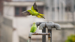 20160115-DSC05869 (mahendru1) Tags: birds parrot amritsar rakesh mahindru