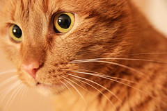 Cat ((Do.Sebe)) Tags: portrait pet cute eye love beautiful animal animals fauna cat canon photography photo model kitten kitty