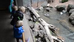 Watching The Smews Splash Around (Joe Shlabotnik) Tags: zoo video bronx violet bronxzoo everett helenw faved 2015 erikw robertw nikond7000 twoviewsonefave february2015